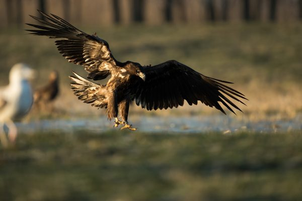 Whitetailed eagle